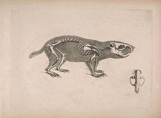 Cape dune mole-rat - Skeleton.