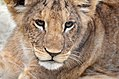 Dierenpark Emmen Portait of a lion cub (9579458452).jpg