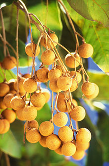 A branch bearing many light brown fruits