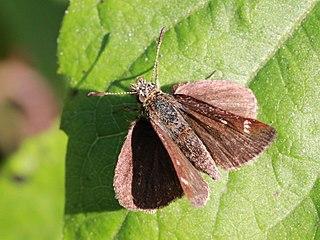 <i>Aeromachus dubius</i> species of insect