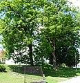 Dlouhá Ves (KT) památné stromy.jpg