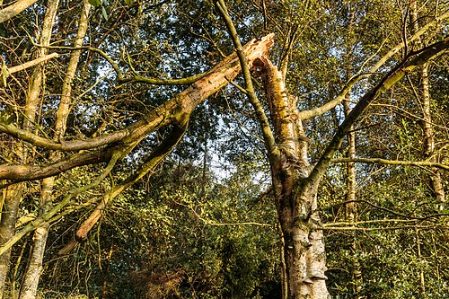Dode geknakte berk (Betula) 21-08-2019. (d.j.b). 08.jpg