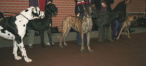 Great danes of several coat types, from L to R: harlequin, black, brindle, blue and fawn