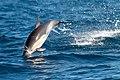 Dolphin (24344787835).jpg