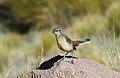 Drakensberg rockjumper 2012 11 11 1939.jpg
