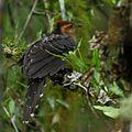 Dromococcyx pavoninus - Pavonine Cuckoo.jpg