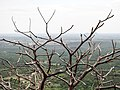 Dry tree from Green Mountain.jpg