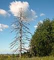 Dry wood.Сухое дерево. - panoramio.jpg