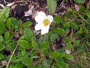 Dryas octopetala - Image: Dryas octopetala Liechtenstein