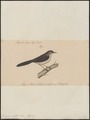 Drymoica rufifrons - 1835 - Print - Iconographia Zoologica - Special Collections University of Amsterdam - UBA01 IZ16200037.tif