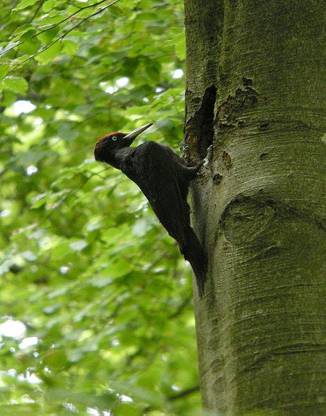 Tesár čierny (lat. Dryocopus martius)