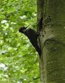 Dryocopus martius Rocherath 1.jpg