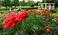 Duftende Schönheit, der Rosengarten im Kurpark Bad Mergentheim. 18.jpg