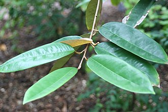 Durio graveolens - Durio graveolens leaves