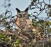 Dusky Eagle Owl (Bubo coromandus) at nest at Bharatpur I2 IMG 5324