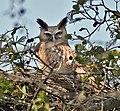 Dusky Eagle Owl (Bubo coromandus) at nest at Bharatpur I2 IMG 5324.jpg