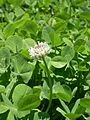 Dutch white clover.jpg