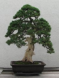 Photograph of informal upright-style Juniper bonsai