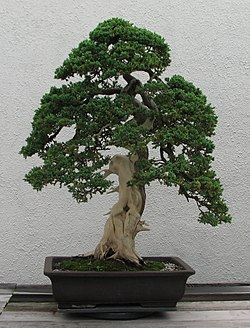Wondrous Deadwood Bonsai Techniques Wikipedia Wiring Digital Resources Funapmognl