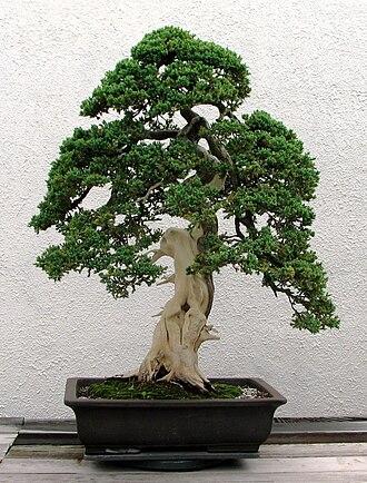 Dwarfing - Dwarf Japanese juniper