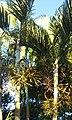 Dypsis lutescens - Areca Bambu - 01.jpg