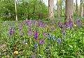 Early Purple Orchids. Orchis mascula - Flickr - gailhampshire.jpg