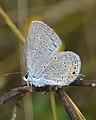 Eastern Tailed-Blue (Cupido comyntas) - Guelph, Ontario 02.jpg