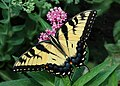 Eastern Tiger Swallowtail Papilio glaucus on Milkweed 2800px.jpg