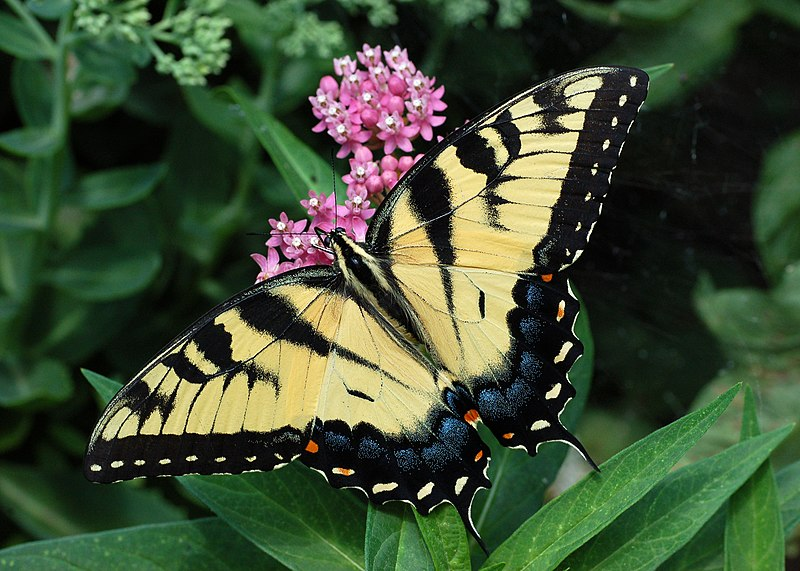File:Eastern Tiger Swallowtail Papilio glaucus on Milkweed 2800px.jpg