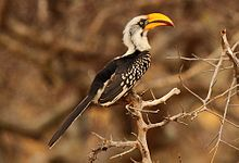 Eastern Yellow Billed Hornbills crop.jpg