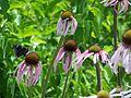 Echinacea pallida butterfly MN 2007.JPG
