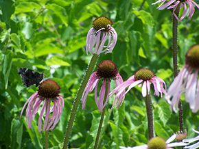 Description de l'image Echinacea pallida butterfly MN 2007.JPG.