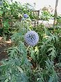 Echinops (1).jpg