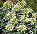 Echium-brevirame4 17-02-12.JPG