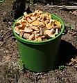 Edible fungi in bucket 2019 G1.jpg