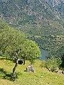 El olivo en Mieza.jpg