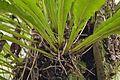 Elaphoglossum alatum (tall tonguefern) (5880166662).jpg