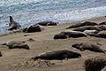 Elephant seals, Piedras Blancas 05.jpg
