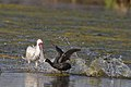 Encounter between a Red-knobbed Coot, Fulica cristata and an African Spoonbill, Platalea alba, at Marievale Nature Reserve, Gauteng, South Africa (44430191204).jpg