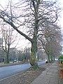 Endangered tree on Menlove Avenue 2.jpg