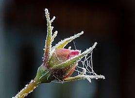 Un bouton de rose 'The Reeve' couvert de givre dans un jardin de Bamberg. (définition réelle 5271×3827)