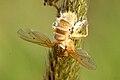 Entomophthora.muscae.-.lindsey.jpg