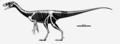 Eodromaeus skeletal.png
