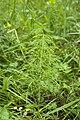 Equisetum sylvaticum saint-michel 02 27052007 1.jpg