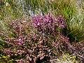 Erica mollis bush.JPG