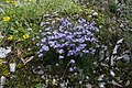 Erinus alpinus, Chésery-Forens - img 29478.jpg