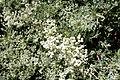 Eriogonum giganteum - UC Davis Arboretum - DSC03379.JPG