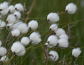 Eriophorum Cotton Grass.JPG
