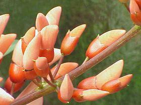 Erythrina crista-galli1.jpg