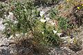 Eschscholzia californica fma. blanca (16134587960).jpg